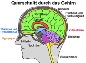 Beschreibung: uerschnitt durch Hirn